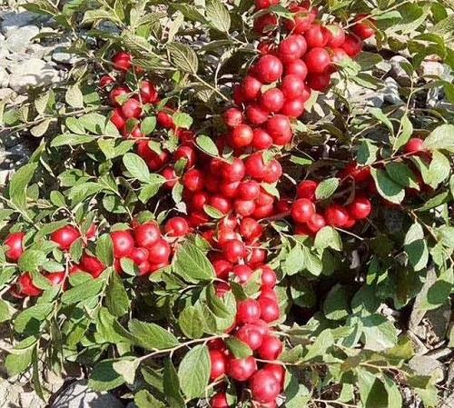 中华钙果树苗农大钙果树苗