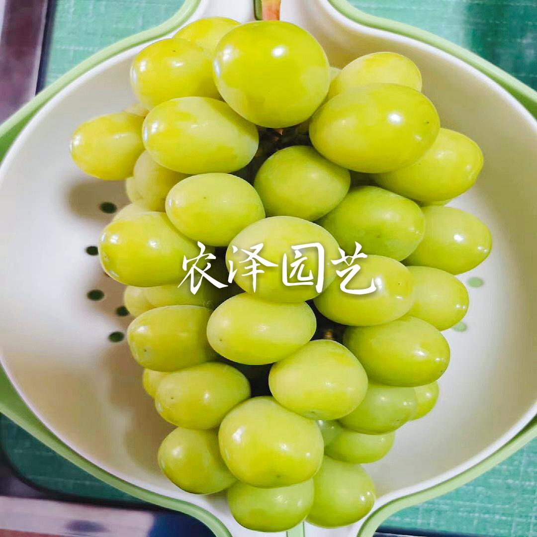 阳光13葡萄苗比阳光玫瑰葡萄苗优缺点分析