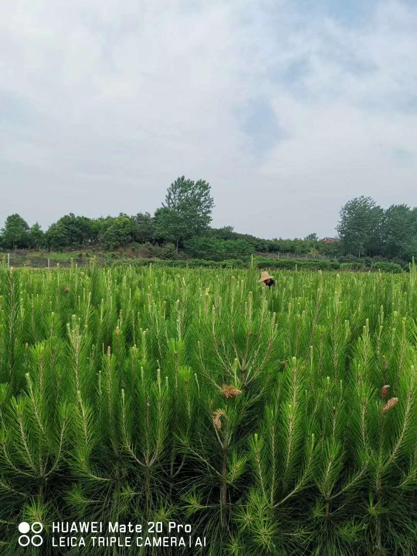 岳阳湿地松供应-美洋洋绿化