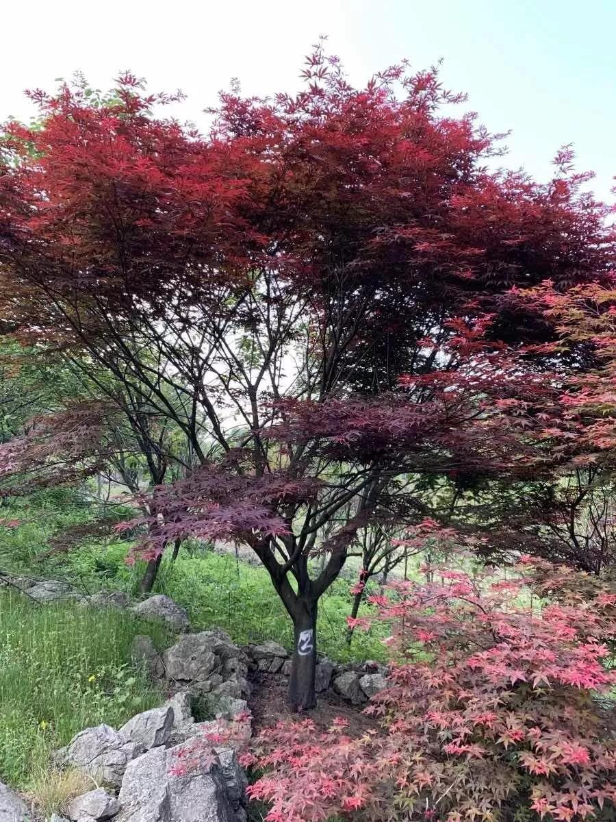 阜阳红枫苗木产地种植销售大小苗