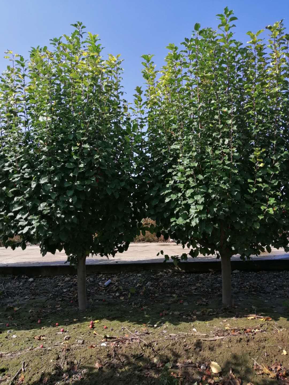 9公分八棱海棠 基地9公分八棱海棠树价格