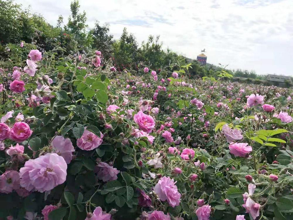 郑州玫瑰花苗哪里有卖?玫瑰庄园基地直供