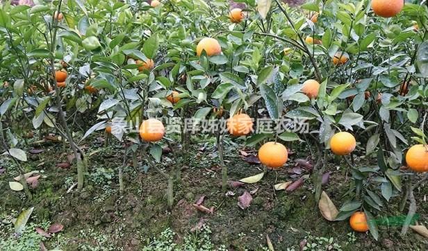 米哈亚柑橘苗