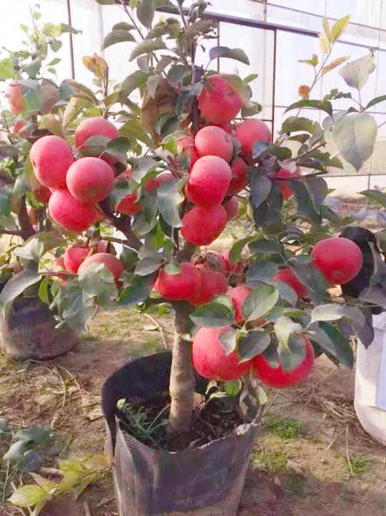 红富贵苹果苗 耐寒抗寒苹果苗