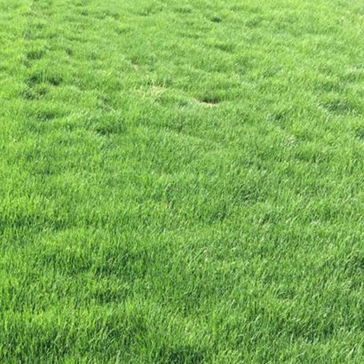 广东广州四季青草坪种子
