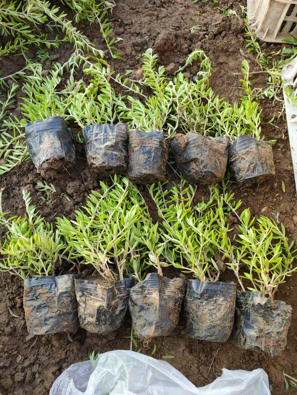 垂盆草地栽苗基地特价直供,下单当天发货