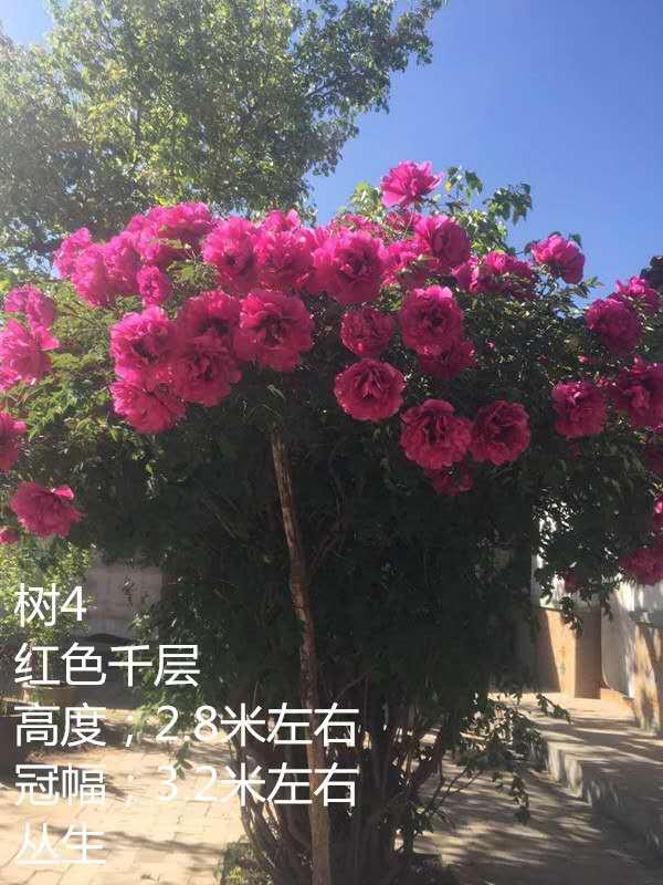 菏泽多禾牡丹专业种植基地