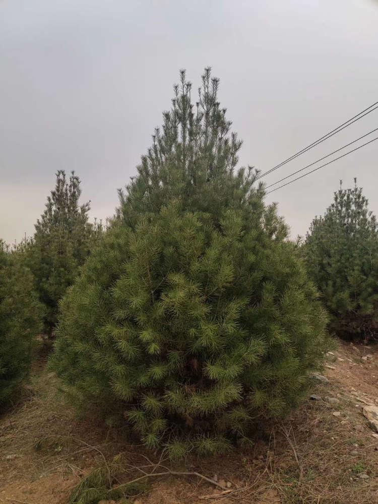 申王坡苗圃