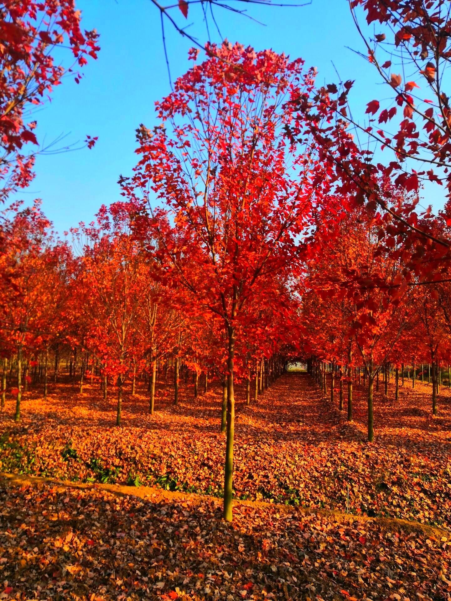邳州木子美国红枫银杏树基地