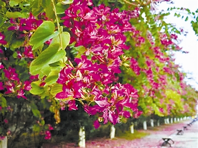 [树木传奇]永远盛开的紫荆花