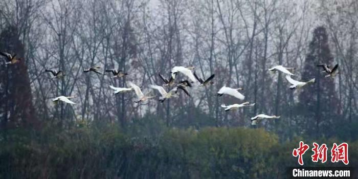 """[野生动植物]摸清水鸟""""家底"""" 湖北将启动越冬水鸟同步调查"""
