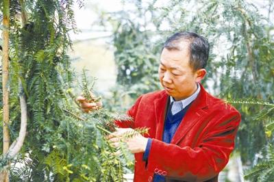 「betway必威体育 精装版」[树木传偶]香榧:传承千年的美食珍因