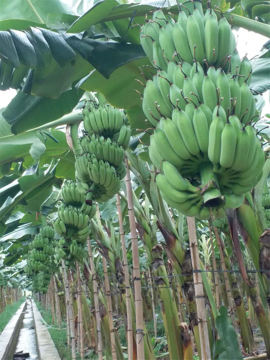 欢迎订购:广西(农科院)专家研究培育制种出来的优质:广西香蕉苗、广西西贡粉蕉苗、广西金粉1号、广粉蕉苗、矮粉1号蕉苗/威廉斯B6香蕉苗、桂蕉6号蕉苗、巴西蕉、金粉一号、南洋红香蕉苗、西贡蕉苗、南天黄、中抗黄叶病、中蕉1号、桂蕉1号香蕉苗、红头粉蕉苗、等品种       广西省南宁市(农科院)香蕉苗西贡粉蕉苗培育种苗基地、常年出售批发广西农科院制种香蕉苗、西贡粉蕉苗、培育基地位于广西自治区首府绿城南宁,交通便利。我基地目前主要销售以香蕉苗和西贡粉蕉苗为主,品种主要有威廉斯B6、桂蕉6号、巴西蕉、金粉一号、西贡蕉等品种,还有百香果苗,沃柑果苗、百香果苗、木瓜苗,葡萄苗和各种树苗出售。本基地有200个大棚,每个大棚平均育苗约6万苗,一次性可出苗300万左右,是目前广西规模较大的香蕉苗和粉蕉苗培育基地之一。我基地香蕉苗和粉蕉苗分季节销往广东、福建、海南、云南、越南、缅甸。老挝、四川、贵州、马来西亚、广西等省区,在全国香蕉苗和粉蕉苗市场也是有名。价格合理,质量保证,让合作者在短的时间内,收取大的利益。证件齐全/合同经法律公证,具有强制效力,以便让您种植香蕉无忧。欢迎对香蕉苗有认识有香蕉苗销路的广大商家、农户前来培育基地参观考察,我们真诚与您合作,拓展更加广阔的市场,让更多的朋友认识种植香蕉是农业财富道路。香蕉基地环境优美,我们一直努力成为您优秀的合作者!相信我们为您创造价值!保证能让种植香蕉农户买得放心、种得开心获得更大的收益!全国可以发货。