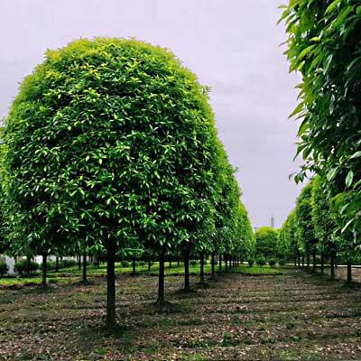 四川贵州精品桂花树园林绿化苗木基地直供
