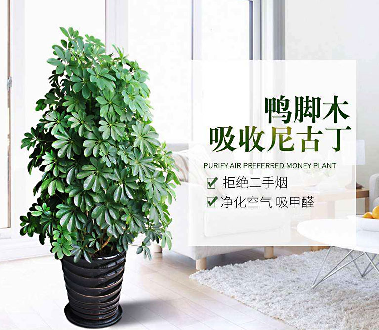 广东鸭脚木的作用_鹅掌柴批发基地_发财树的能量和寓意_17380494810