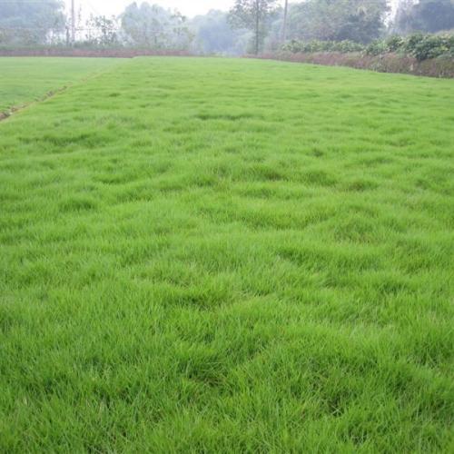 细叶结缕草简介和种植技术