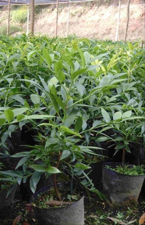"""福建:武夷山建成全国面积较大的珍稀植物""""竹柏""""基地"""
