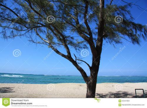 木麻黄:无可替代的沿海沙地之绿