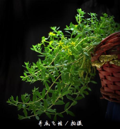 垂盆草 [景天科] [景天属]
