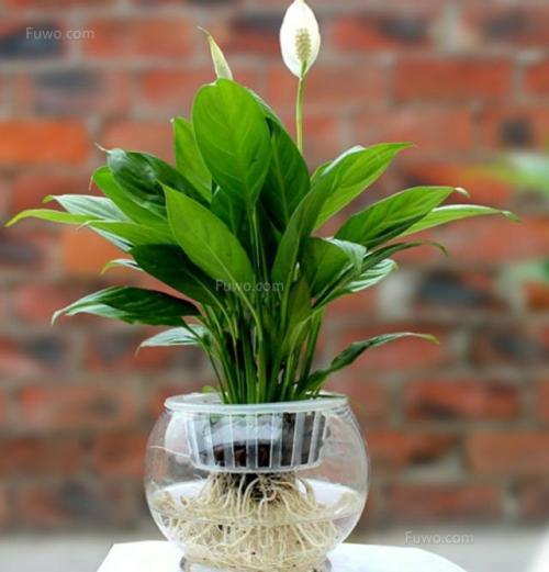 白鹤芋(白掌)家庭栽培及养护