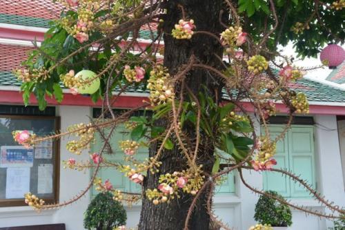 花之传说――菩提树