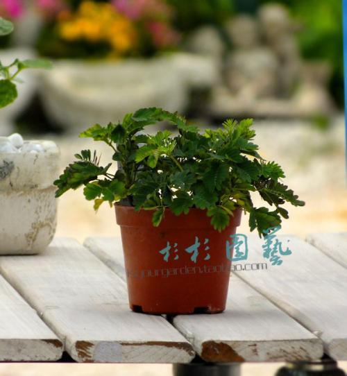 含羞草的室内盆栽管理要点