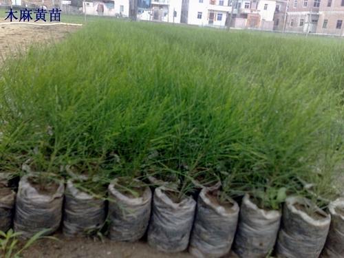 木麻黄水培育苗技术