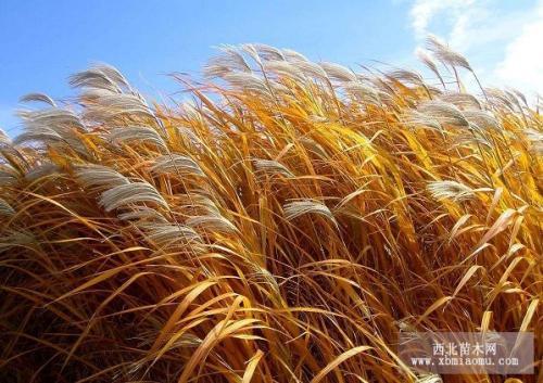 芦苇高产栽培技术