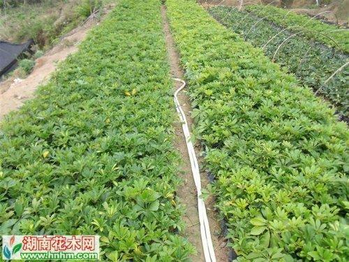 洲鸭脚木栽培技术