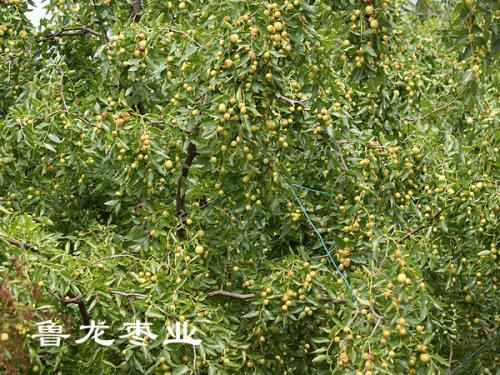 酸枣的栽培技术