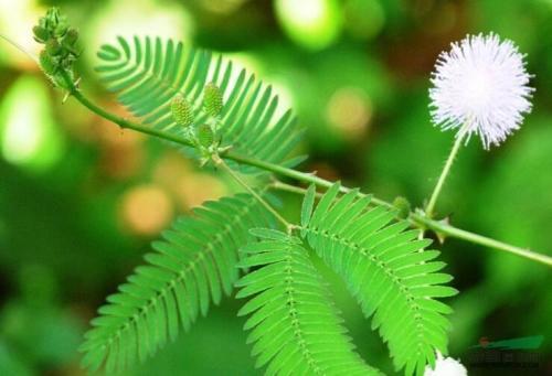 杨贵妃与含羞草