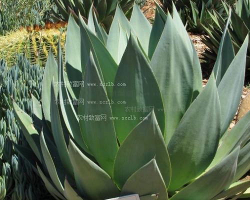 龙舌兰常见品种