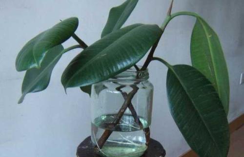 大叶橡皮树试管繁殖快速育苗技术
