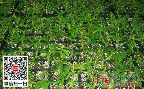 黄连栽培新方法