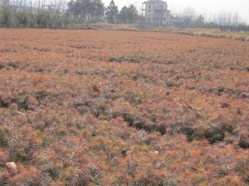黄连木栽培技术