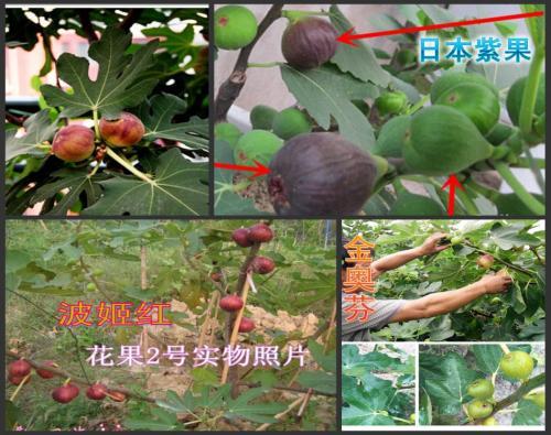 无花果的高产栽培技术