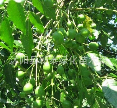直播酸枣超高密度建园枣树控冠技术