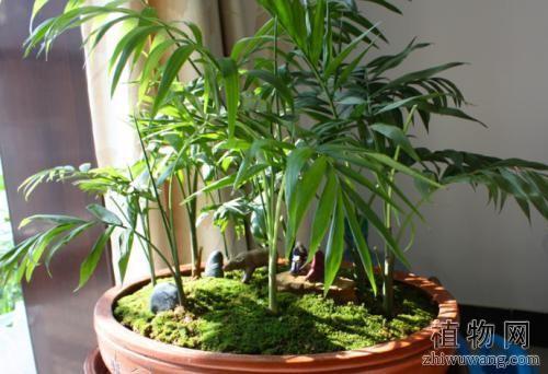 袖珍椰子怎样繁殖栽培