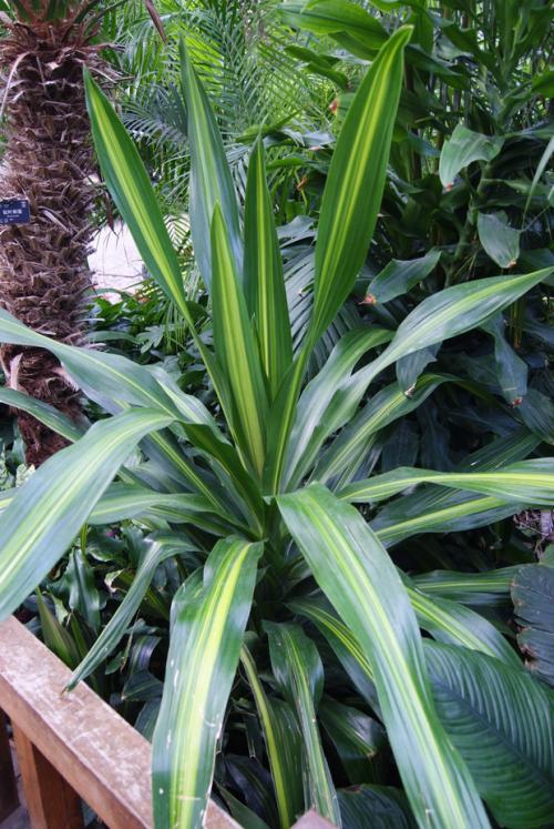 室内绿化植物--金心香龙血树