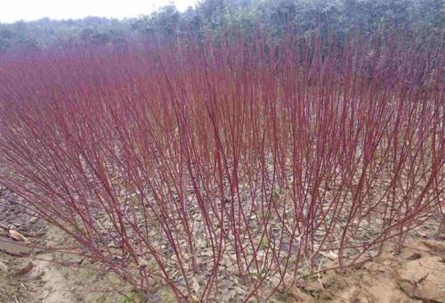 红瑞木栽培与繁殖要点