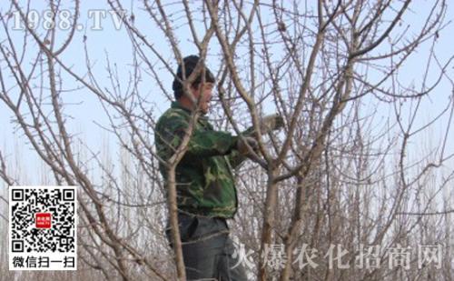 衰老期杏树怎样冬季修剪
