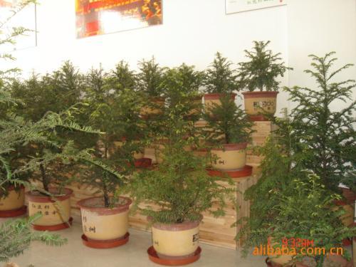 家养红豆杉的养殖方法,盆栽红豆杉的养护管理方法-苗木