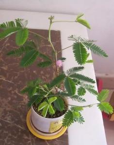 含羞草的播种繁殖方法