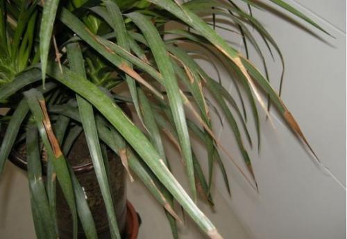 香龙血树的栽培方法 香龙血树的品种介绍