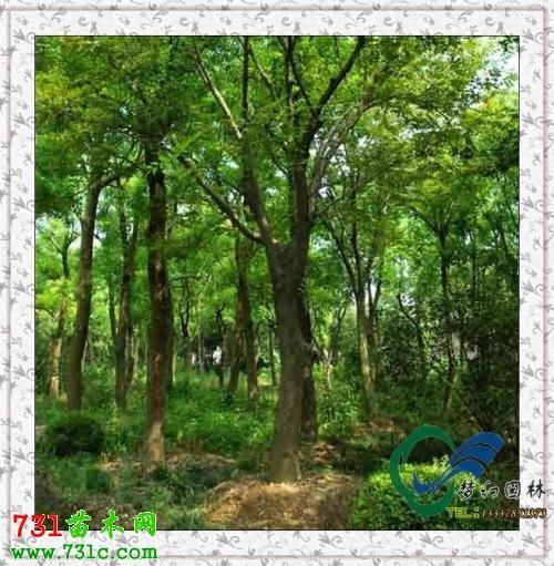 黄连木繁育技术