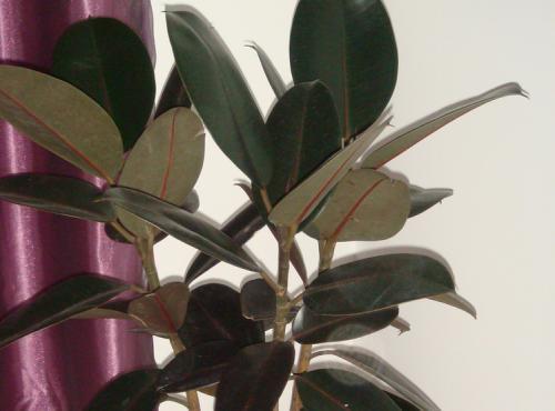 橡皮树繁殖技术