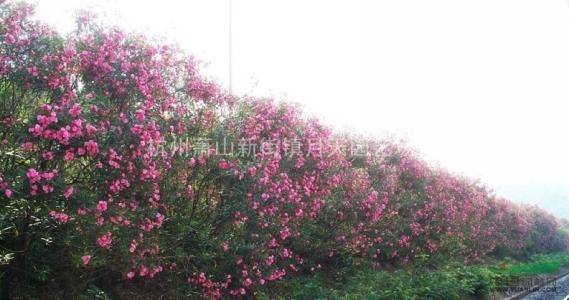 夹竹桃 柳叶桃 半年红