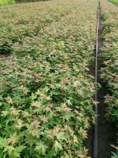 金叶红瑞木嫩枝扦插繁殖家技术