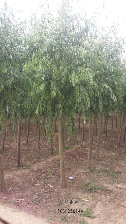 如何管理金丝垂柳树苗?