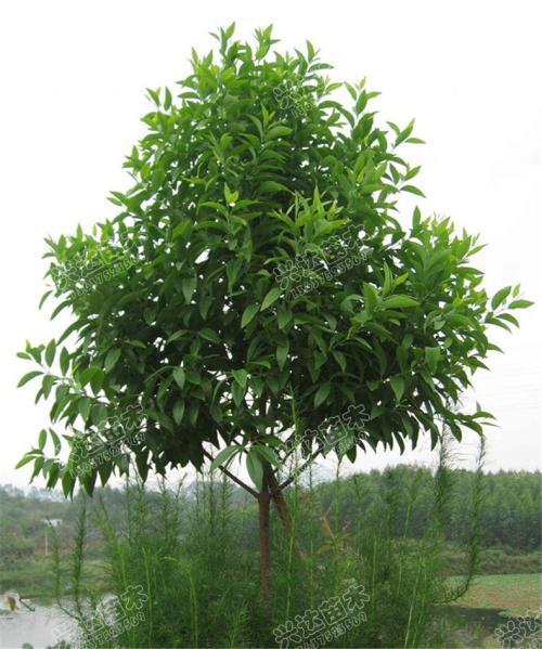 珍贵树种水曲柳的培育技术